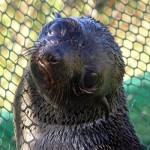 Lila Ranch is a Marine Mammal Center Adopt A Seal &quot;Poster Seal&quot;