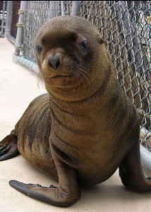 Marine Mammal Center's Adopt a Seal